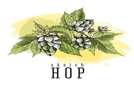 How Beer Hops Prevent Osteoporosis